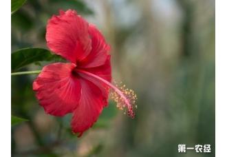 朱槿花和扶桑花两种具体有什么区别?