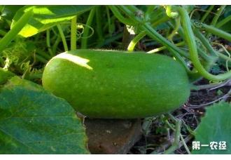蔬菜的美食冬瓜的种植方法