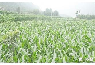 玉米的苗期要怎么做才能使玉米生长的更快更好