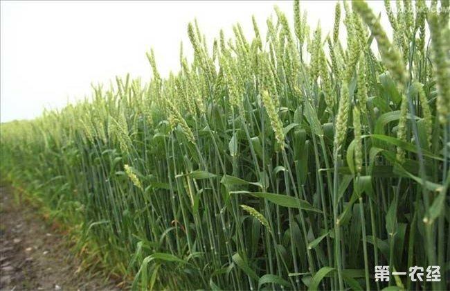 小麦 注意事项 越冬
