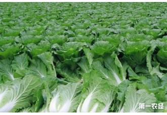 如何防治大白菜软腐病防治技术