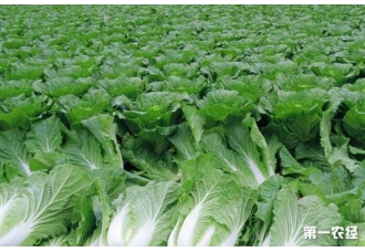 <b>如何防治大白菜软腐病防治技术</b>