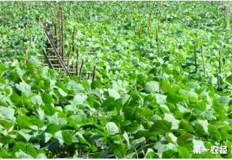 如何种植四季豆高产量技术