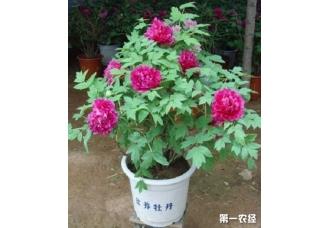 <b>怎样防止盆栽牡丹烂根和落蕾</b>
