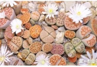 分享生石花的养殖经验