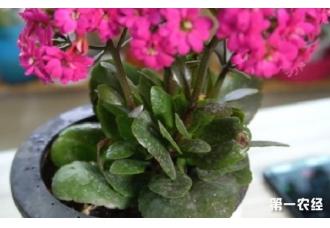 长寿花开花时间可以给花喷水吗?