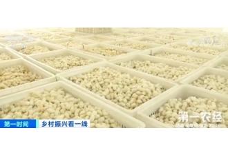 重庆黔江:夏蚕鲜茧开秤 量增价涨助力增收
