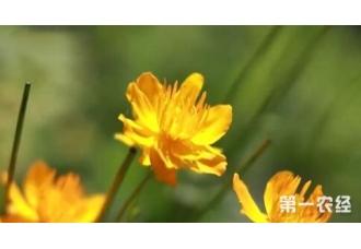黑龙江大兴安岭:金莲花喜迎丰收 每亩经济效益达2000元左右