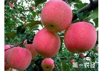红富士苹果有产地主要在哪里