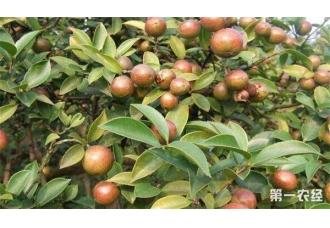 油茶树种植技术及管理须知