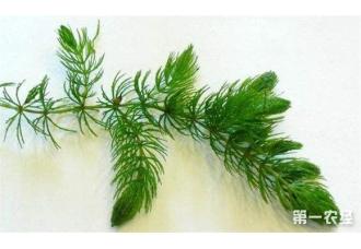 金鱼藻是什么植物 金鱼藻的养殖方法