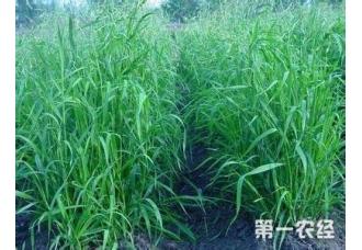 黑麦草用途 多年生黑麦草营养价值及利用