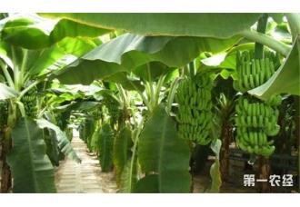 香蕉的产地在哪里 哪些地方盛产香蕉