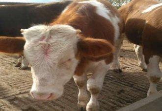 新肉牛价格