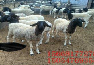 纯白头杜泊羊价格