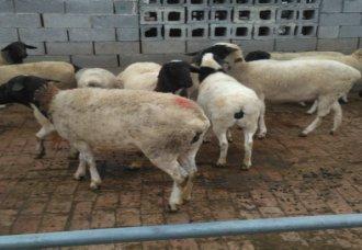 杜泊羊公羊价格