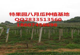 八月瓜种植选绿生园,供应成活率高的优质种苗