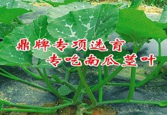 专吃南瓜茎叶