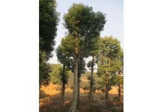 30公分香樟树